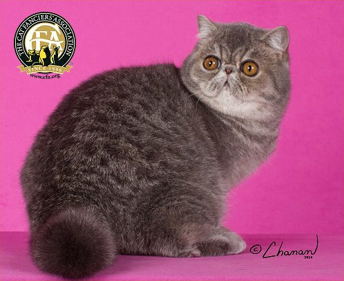 GC, NW IVY CAT BLUE-ANGEL-OF-PURRELLI