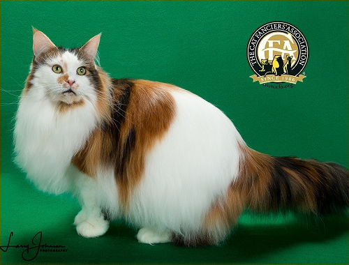 GC, GP, NW MCPRIDE LUCILLE BALL OF JASPURRCATS