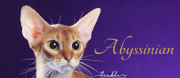 Abyssinian Breed Banner