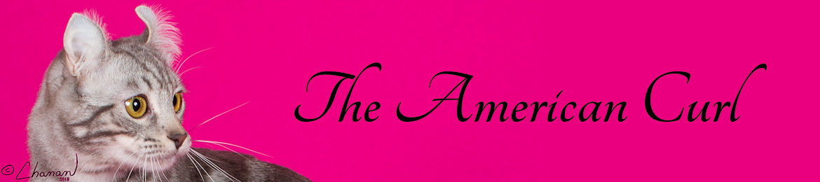American Curl Breed Banner