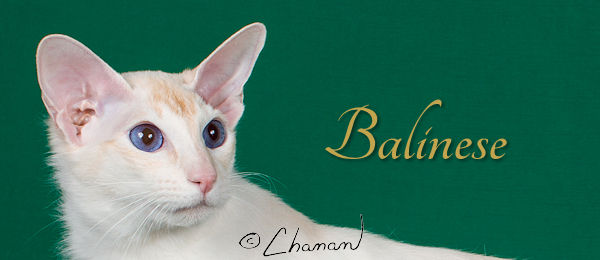 Balinese Breed Banner