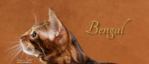 Bengal Breed Banner