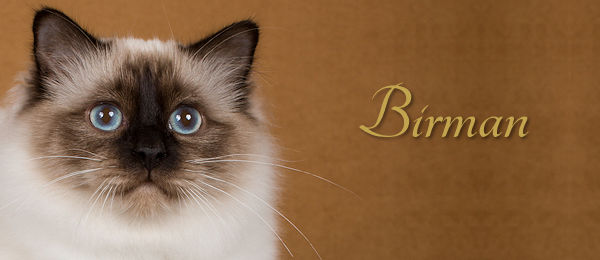 Birman Breed Banner