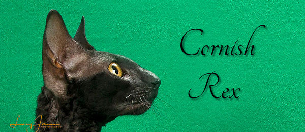 Cornish Rex Banner