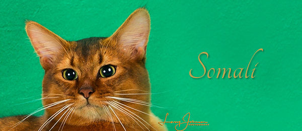 Somali Breed Banner
