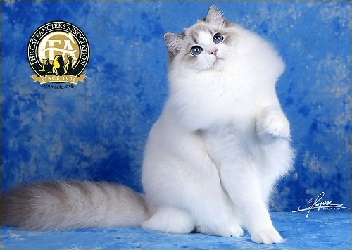 GC, NW L'CLOVER QUEEN OSKI OF ELSA RAGDOLL