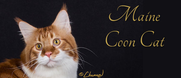 Maine Coon Cat Banner