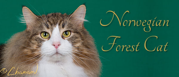 Norwegian Forest Cat Banner