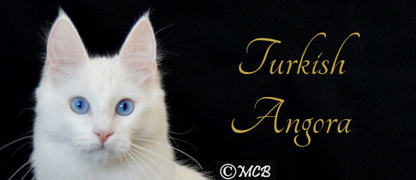 Turkish Angora Banner