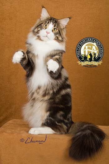 Maine Coon Cat The Cat Fanciers Association Inc