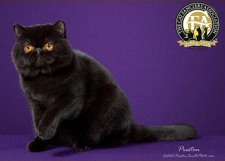 GC, BW, NW IVY CAT BLACK ICE OF PURR ELLI
