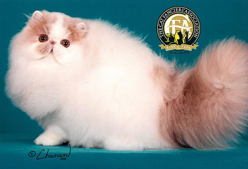 GC, NW COTTONTOP RINGMASTER! OF PURRCASSO