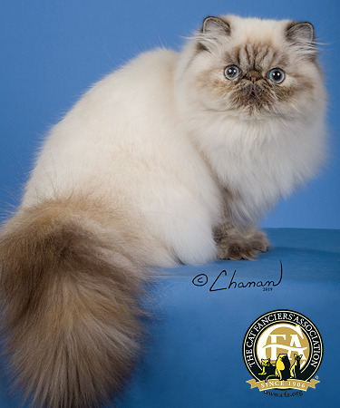 GC, RW BRONTTI ROYAL GEMMA OF A KITKAT